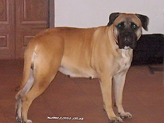 Golden Uelsi Victoria (Тори) 4 года